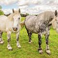Percherons Horses by Delphimages Photo Creations