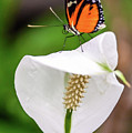 Perching Butterfly by Jerry Cahill