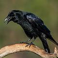 Perching Raven by Torbjorn Swenelius