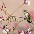 Perching Ruby-throated Hummingbird by Russell Myrman