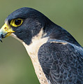Peregrin Falcon by Tim Kathka