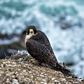 Peregrine Falcon - Here's Looking At You by Anthony Murphy