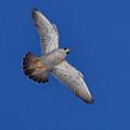 Peregrine Falcon I by Harry Moulton