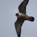 Peregrine Falcon IIi by Harry Moulton