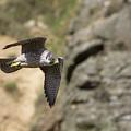 Peregrine Falcon In Flight by Peter Walkden