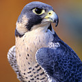 Peregrine Falcon by John Hyde - Printscapes