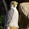 Peregrine Falcon by Judd Nathan
