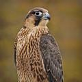 Peregrine Falcon Portrait by Susan Candelario