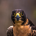Peregrine Falcon Profile 2 by Blake Webster
