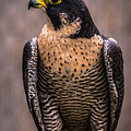 Peregrine Falcon Profile by Blake Webster
