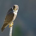 Peregrine Falcon by Terry Hawthorne
