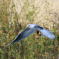 Peregrine Falcon Trips by Craig Corwin