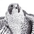 Peregrine Falcon by Wade Clark