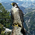 Peregrine Falcon, Yosemite Valley, Western Sierra Nevada Mountain, Echo Ridge by Thomas Pollart