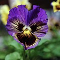 Perfect Pansy  by Jeff Swan