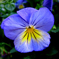 Perfect Pansy by PJ  Cloud
