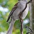 Perfect Profile - Chipping Sparrow by Cindy Treger