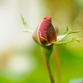 Perfect Red Rose Bud  by Humorous Quotes
