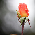 Perfect Rose by Lawrence Drake