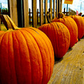 Perfect Row Of Pumpkins by Marisela Mungia