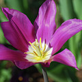 Perfect Single Dark Pink Tulip Flower Blossom Blooming by DejaVu Designs
