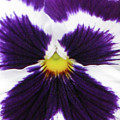 Perfectly Pansy 01 by Pamela Critchlow