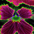 Perfectly Pansy 01 - Photopower by Pamela Critchlow