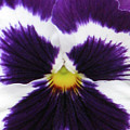 Perfectly Pansy 02 by Pamela Critchlow