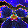 Perfectly Pansy 02 - Photopower by Pamela Critchlow