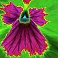 Perfectly Pansy 04 - Photopower by Pamela Critchlow