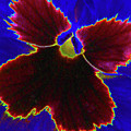 Perfectly Pansy 05 - Photopower by Pamela Critchlow