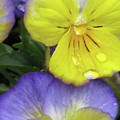 Perfectly Pansy 11 by Pamela Critchlow