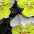 Perfectly Pansy 13 - Bw - Yellow by Pamela Critchlow