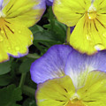 Perfectly Pansy 13 by Pamela Critchlow