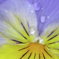Perfectly Pansy 16 by Pamela Critchlow