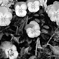 Perfectly Pansy 18 - Bw - Water Paper by Pamela Critchlow