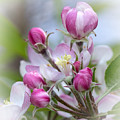 Perfectly Pink by Dana Crandell