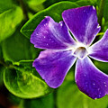 Periwinkle At Pilgrim Place In Claremont-california by Ruth Hager