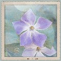 Periwinkle Stars by Cindy Garber Iverson