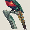 Perruche A Tete Bleue, Male / Rainbow Lorikeet, Male - Restored 19th Cent. Illustration By Barraband by Jose Elias - Sofia Pereira
