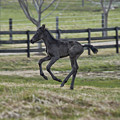 Perry's Colt Running by David Arment