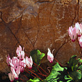 Persian Cyclamen by Thomas R Fletcher
