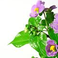 Persian Violets by Gaspar Avila