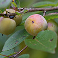 Persimmons by Paul Rebmann