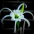 Peruvian Daffodil - 8x10 by B Nelson
