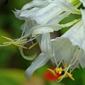 Peruvian Lilies 3 by Teresa Stallings