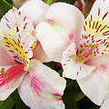 Peruvian Lilies  Flowers White And Pink Color Print by James BO Insogna