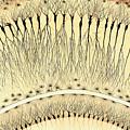 Pes Hipocampi Major Santiago Ramon Y Cajal by Science Source