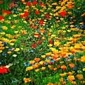 Poppy Petal Patch by David Coleman