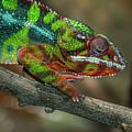 Ambilobe Panther Chameleon by Jimmy Tran